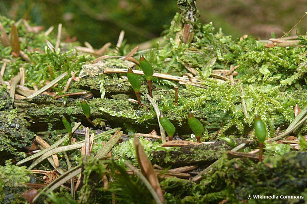 Grünes Koboldmoos, Buxbaumia viridis