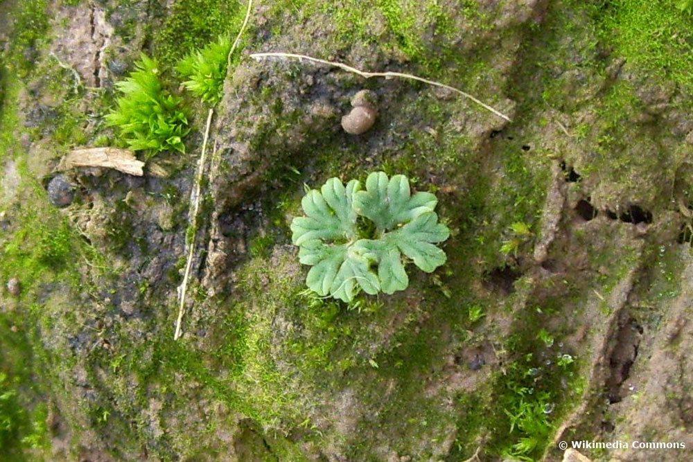 Häufchenfrüchtiges Sternlebermoos, Riccia sorocarpa