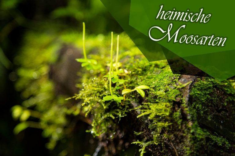 heimische Moosarten