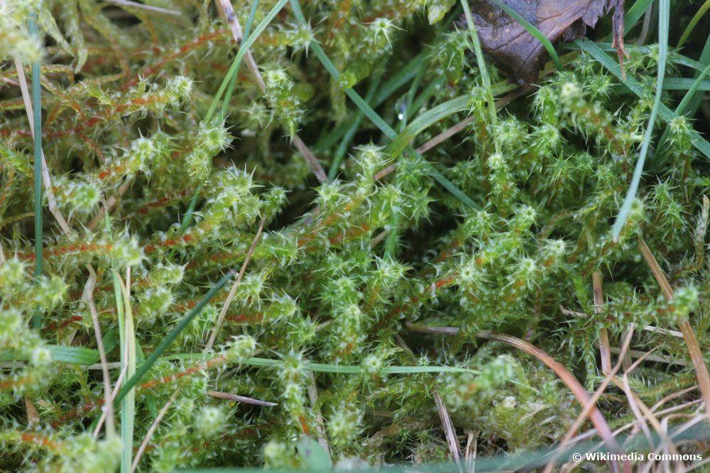 Sparriges Kranzmoos, Rhytidiadelphus squarrosus