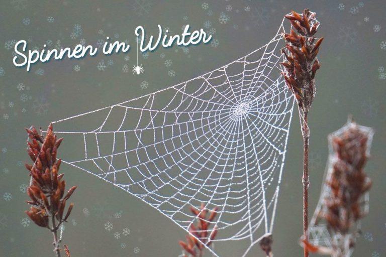 Spinnen im Winter