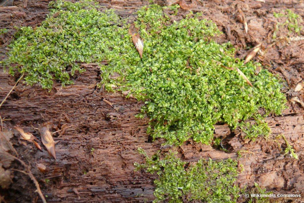 Verschiedenblättriges Kammkelchmoos, Lophocolea heterophylla