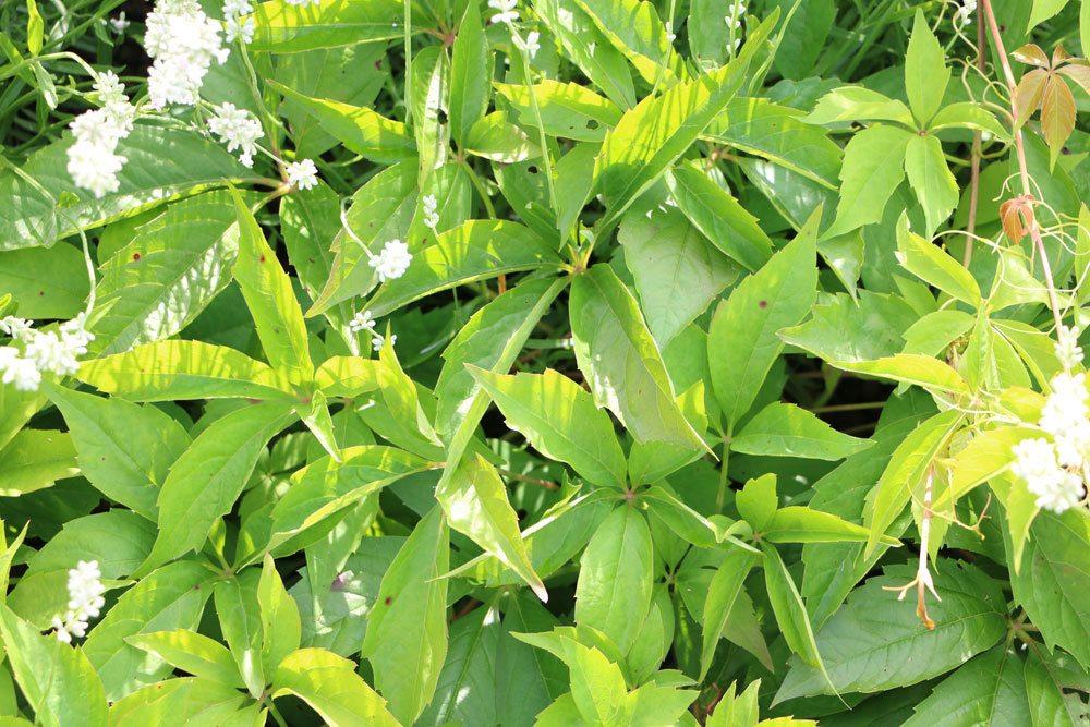 Wilder Wein, Parthenocissus quinquefolia eignet sich für einen bienenfreundlichen Balkon
