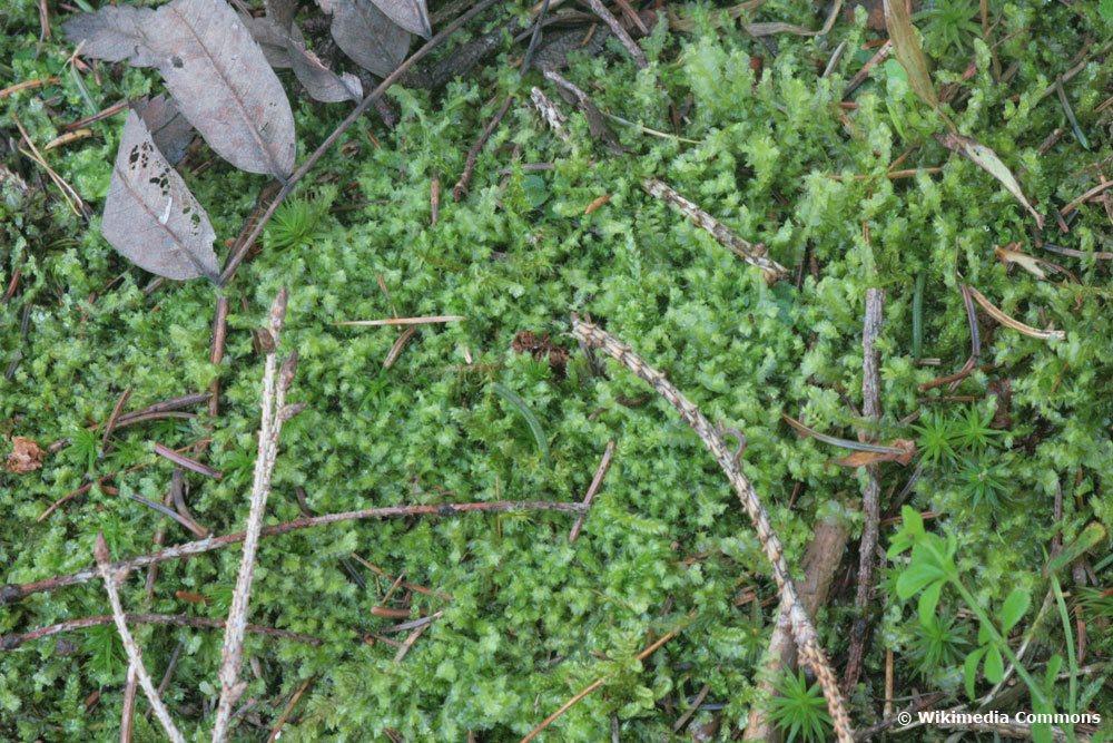 Zweizähniges Kammkelchmoos, Lophocolea bidentata