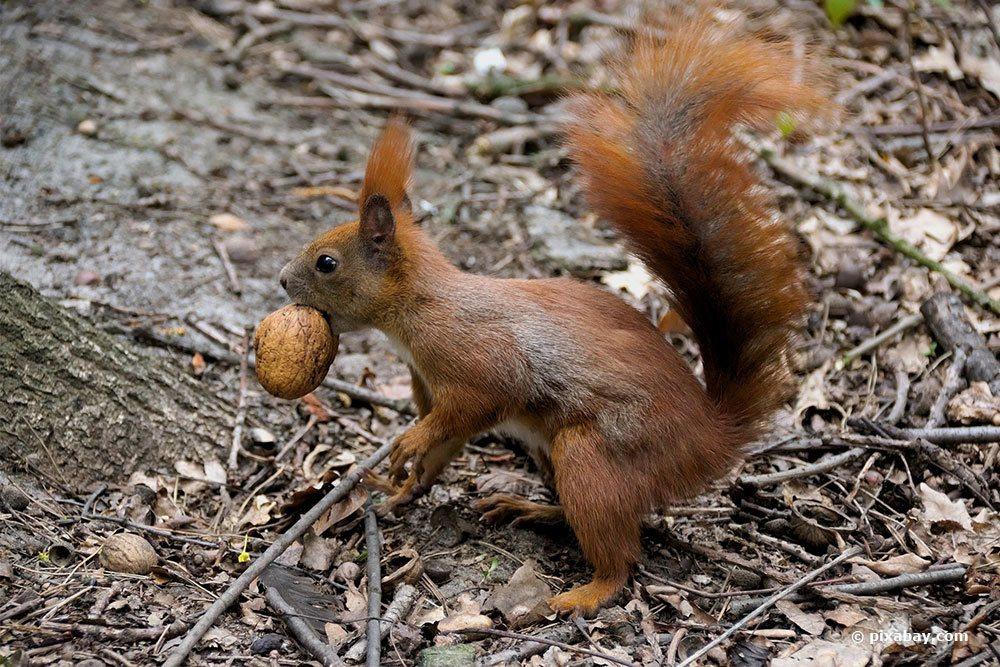 Eichhörnchen Nuss