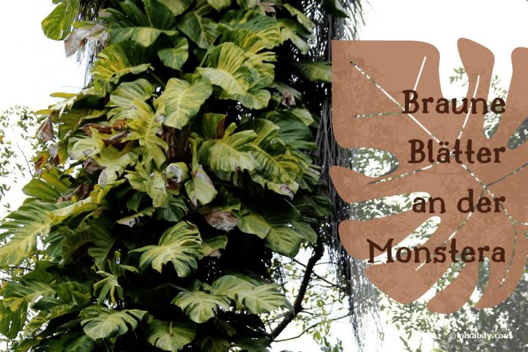 Monstera braune Blätter