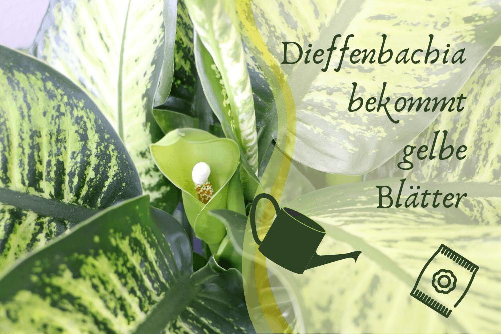 Dieffenbachia gelbe Blätter