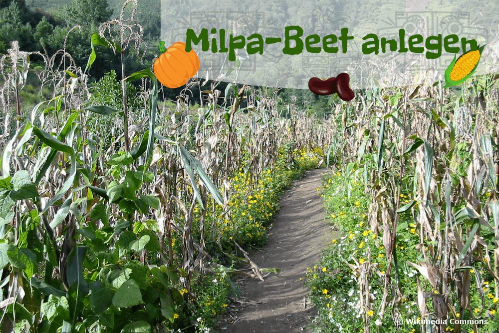 Milpa-Beet anlegen
