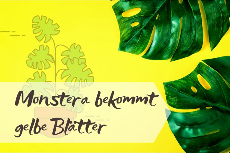 Monstera gelbe Blätter