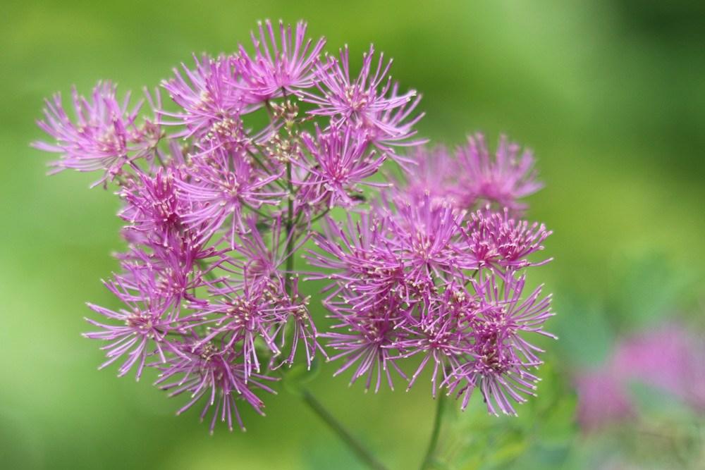 Blüte der Akeleiblättrigen Wiesenraute