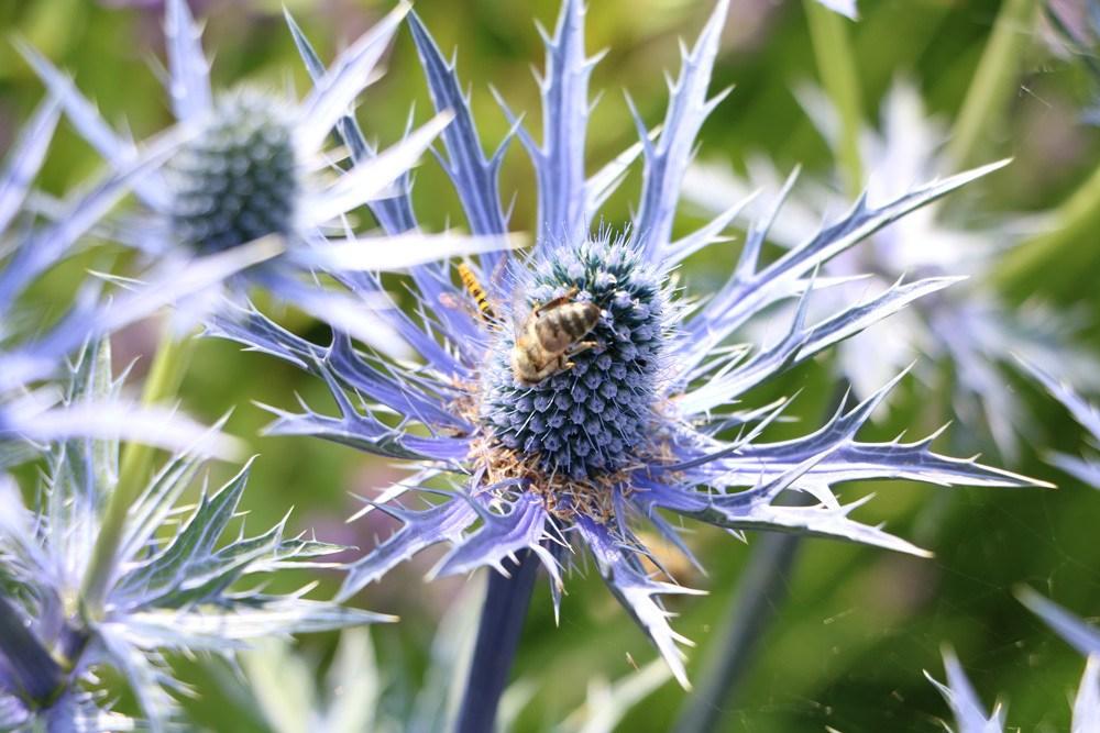 Eryngium, Mannstreu, Bienenfutterpflanze
