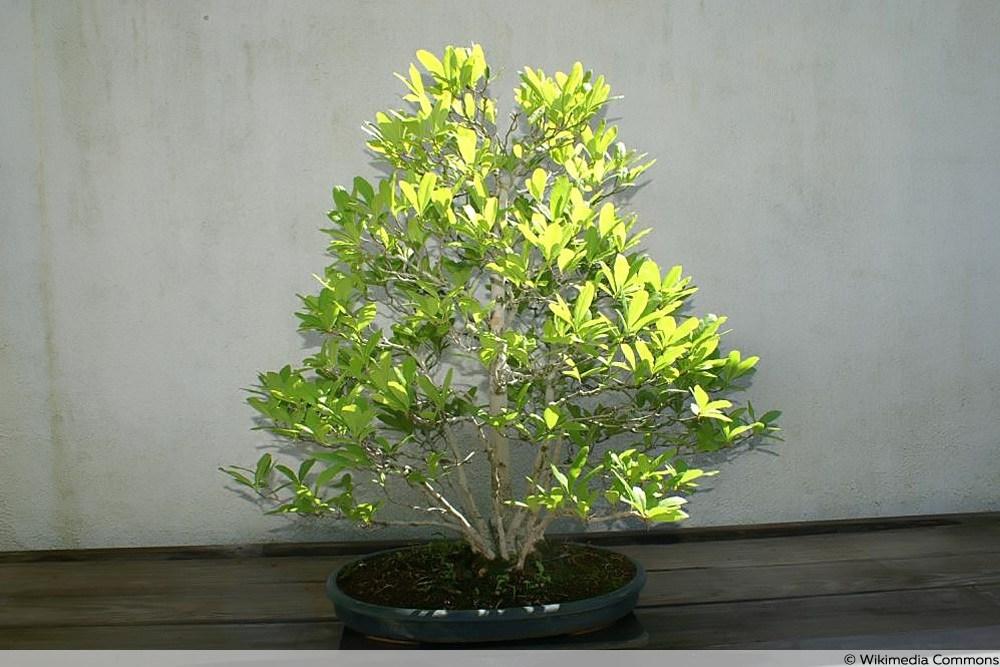 Baum-Magnolie im Topf
