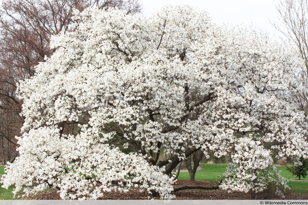 Baum-Magnolie - Magnolia kobus