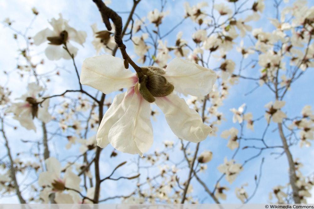 Baum-Magnolie