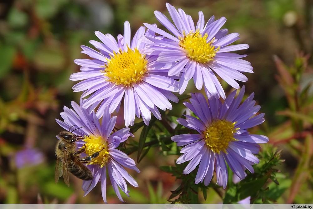Berg-Aster als Bienenweide