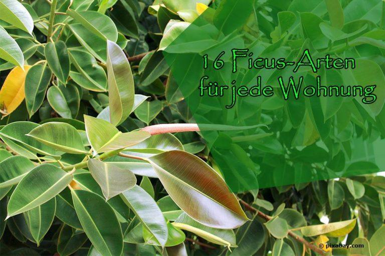 Ficus-Arten