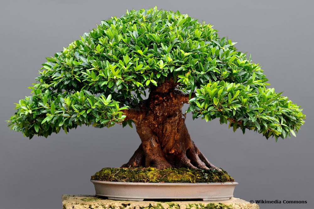 Ficus buxifolia