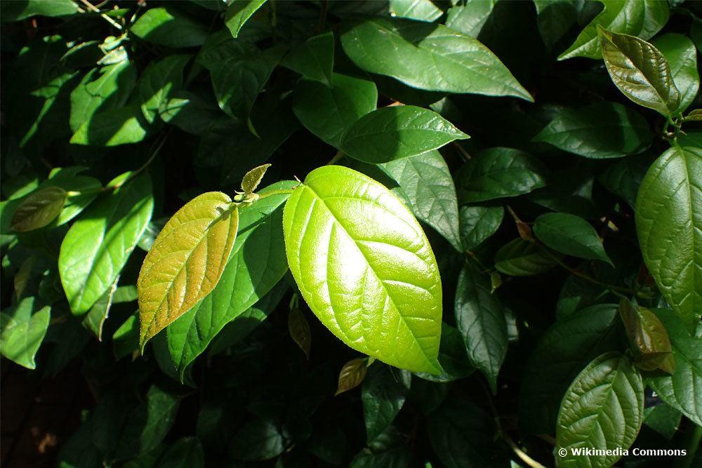 Ficus sagittata