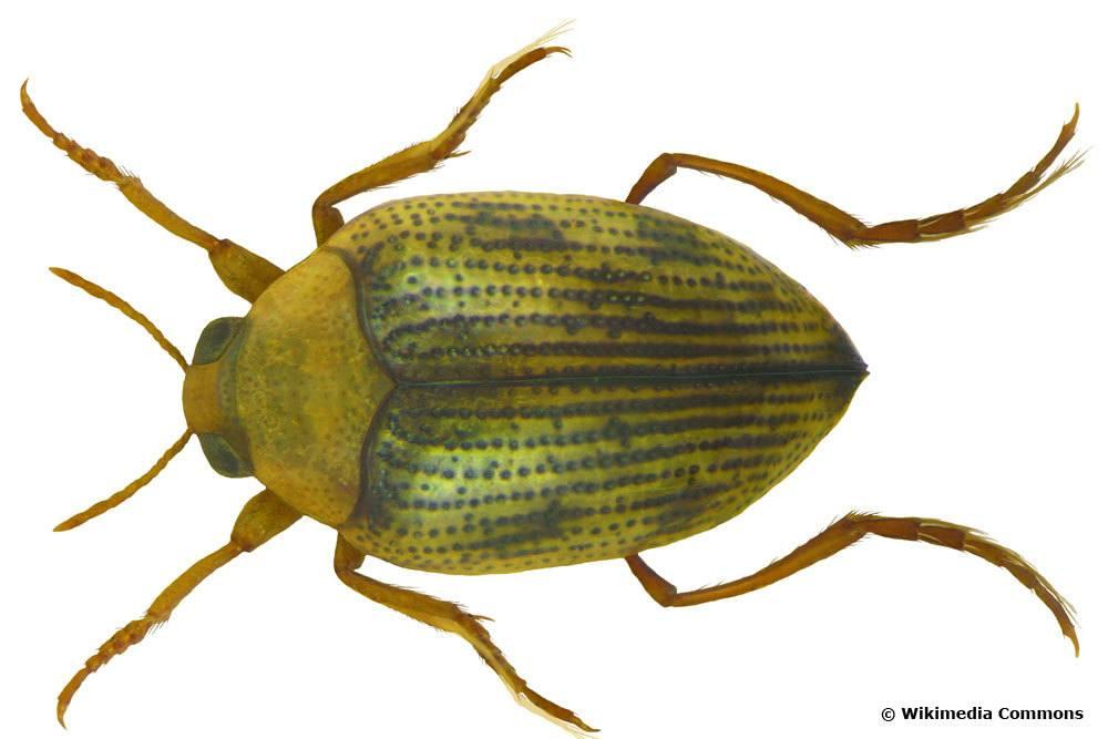 Haliplus ruficollis