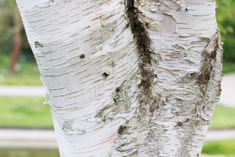 Himalayabirke - Betula utilis var. jacquemontii