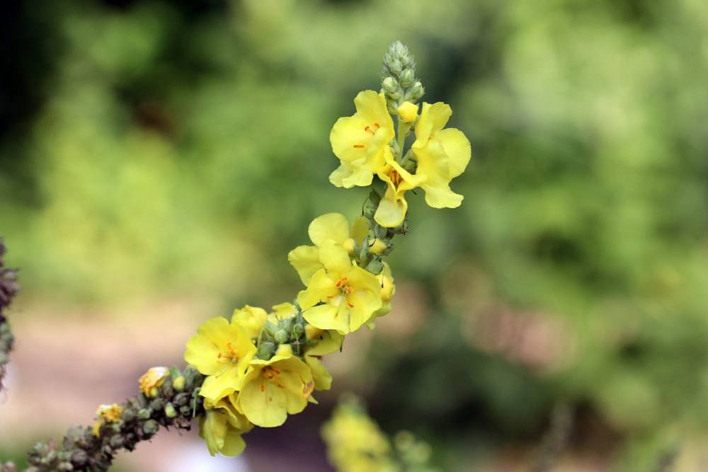 Verbascum phlomoides