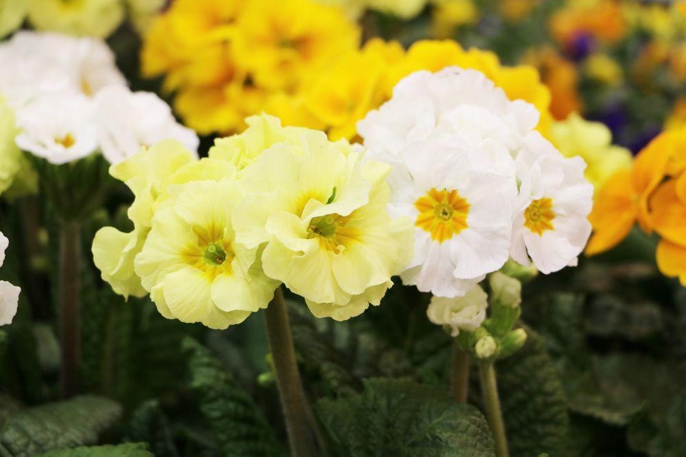 Kissen-Primel - Primula vulgaris