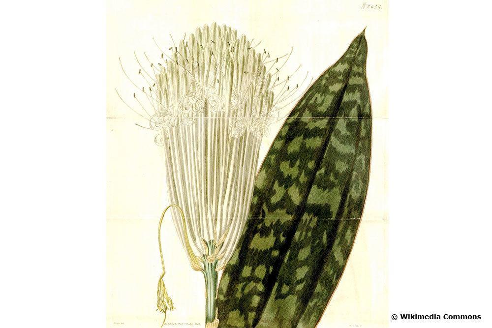 S. longiflora