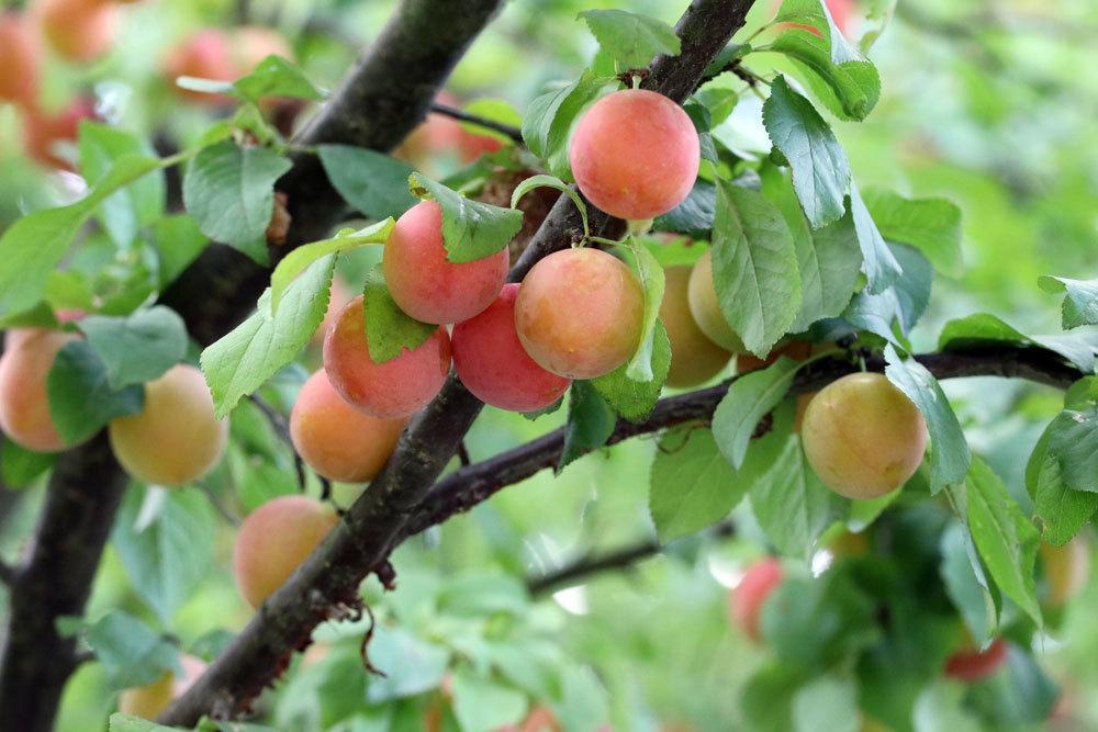 Mirabelle, Obstbäume