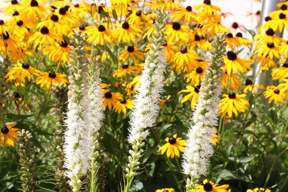 Pflanznachbarn für Berg-Aster - Prachtscharte und Sonnenhut