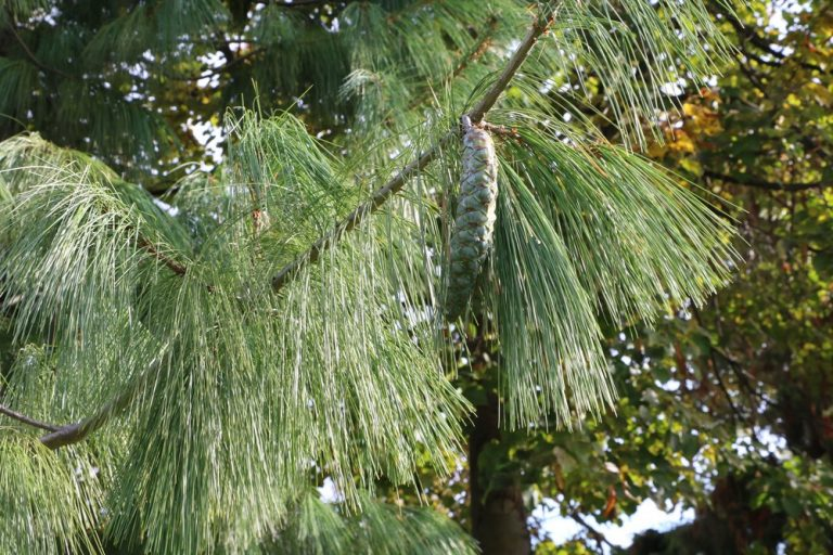 Tränen-Kiefer - Pinus wallichiana
