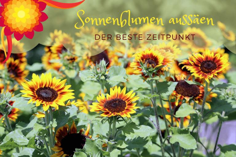 Sonnenblumen Aussaat