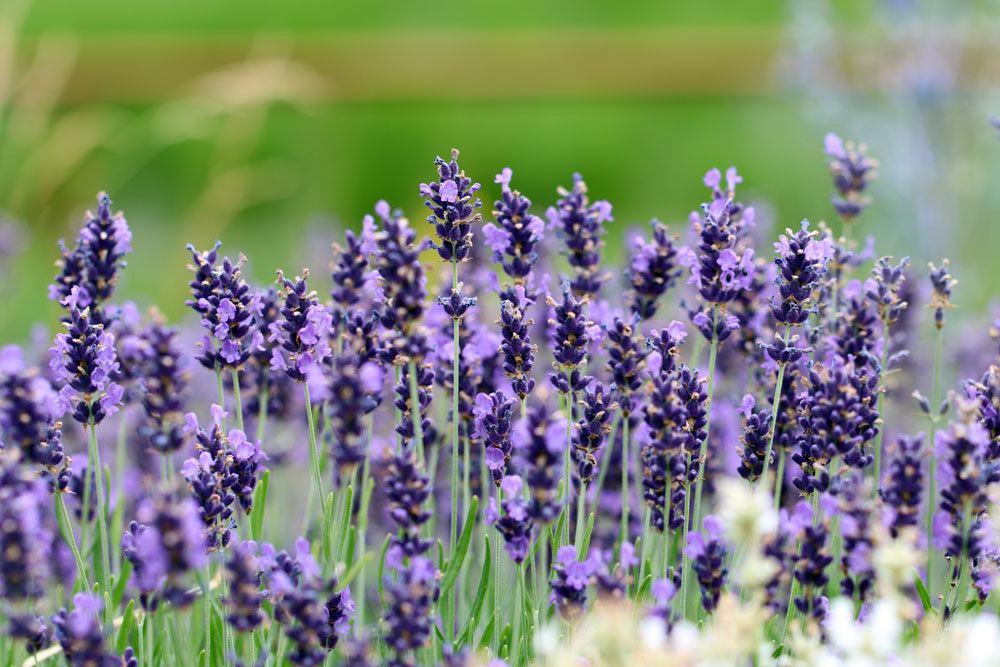 Lavendel aussäen gegen Mücken