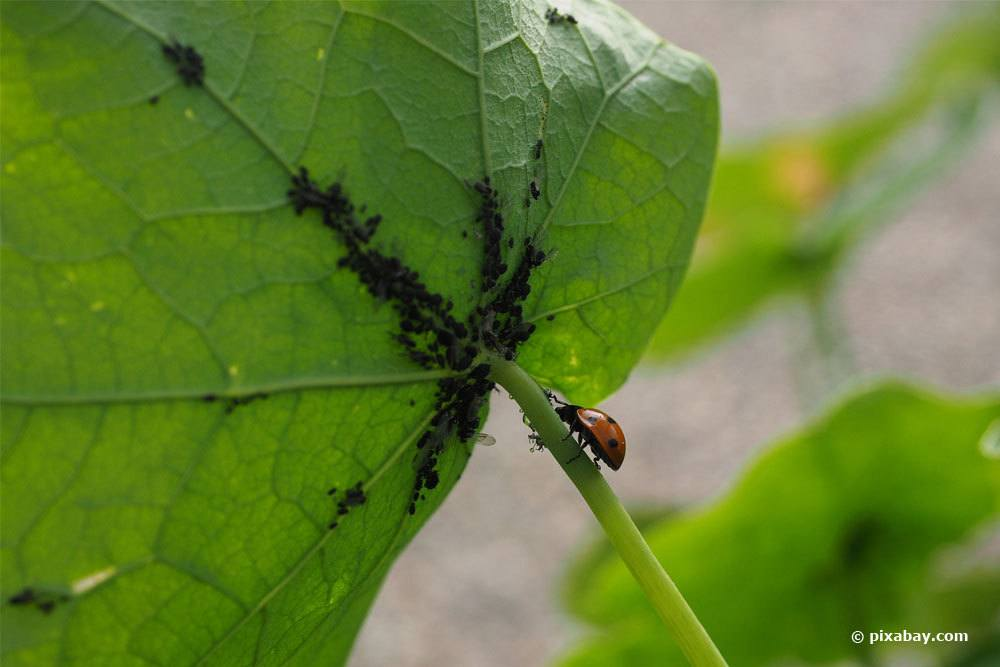 Marienkäfer Blattläuse