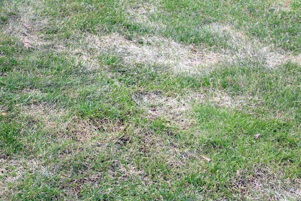 Rasen Engerlinge