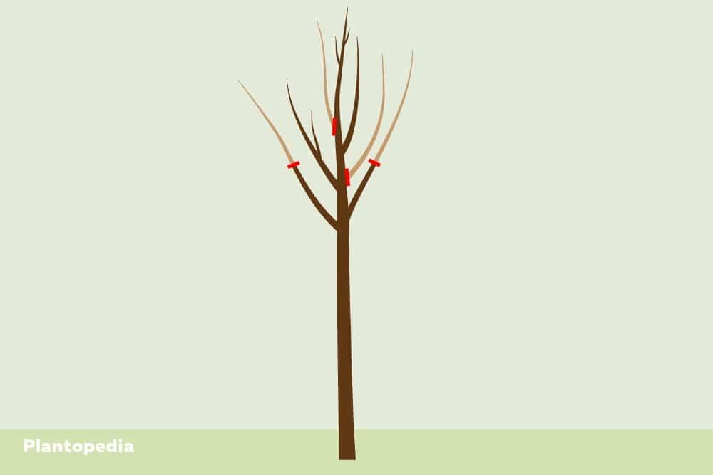 Apfelbaum schneiden, Pflanzschnitt