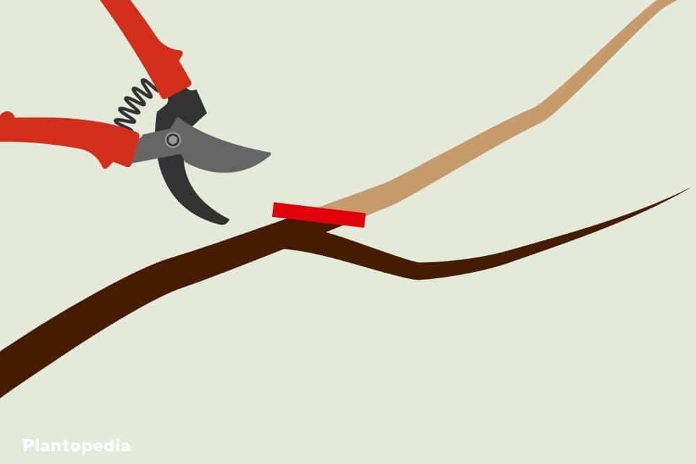 Fruchtholz ableiten