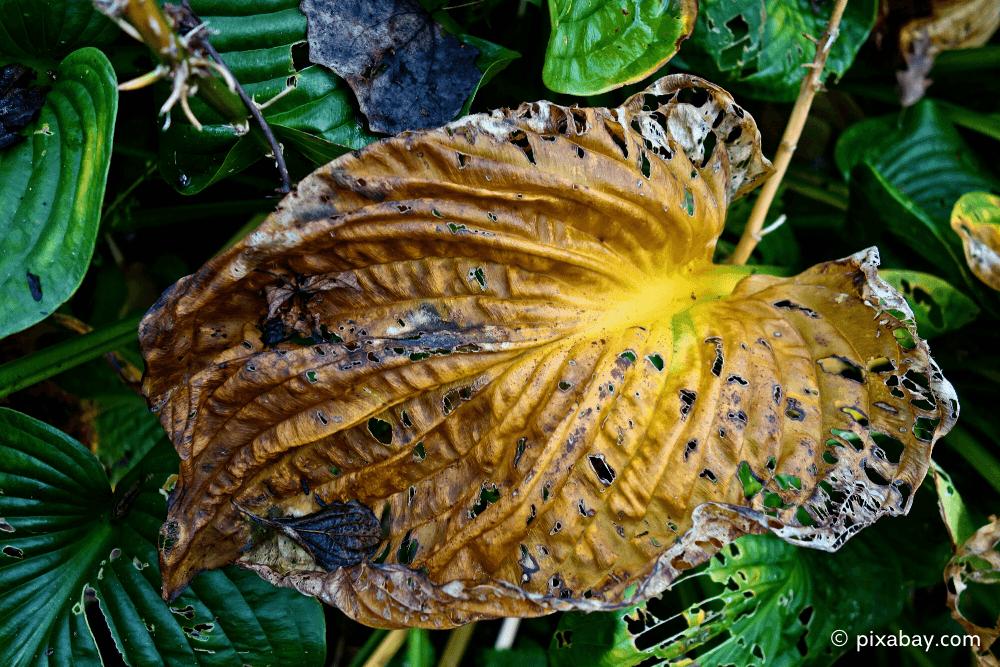 Braune Blätter an Funkien