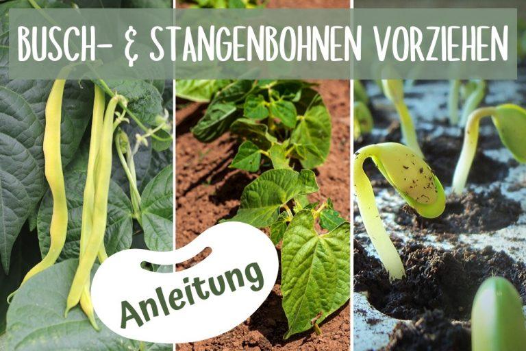 Busch- und Stangenbohnen vorziehen