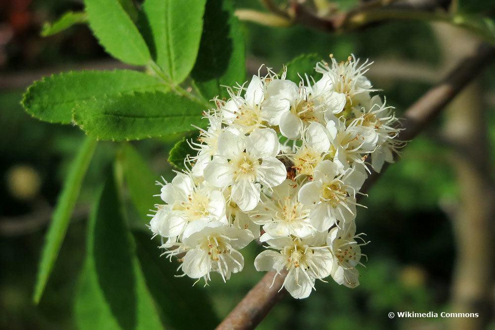 Eberesche, weiße Blüten