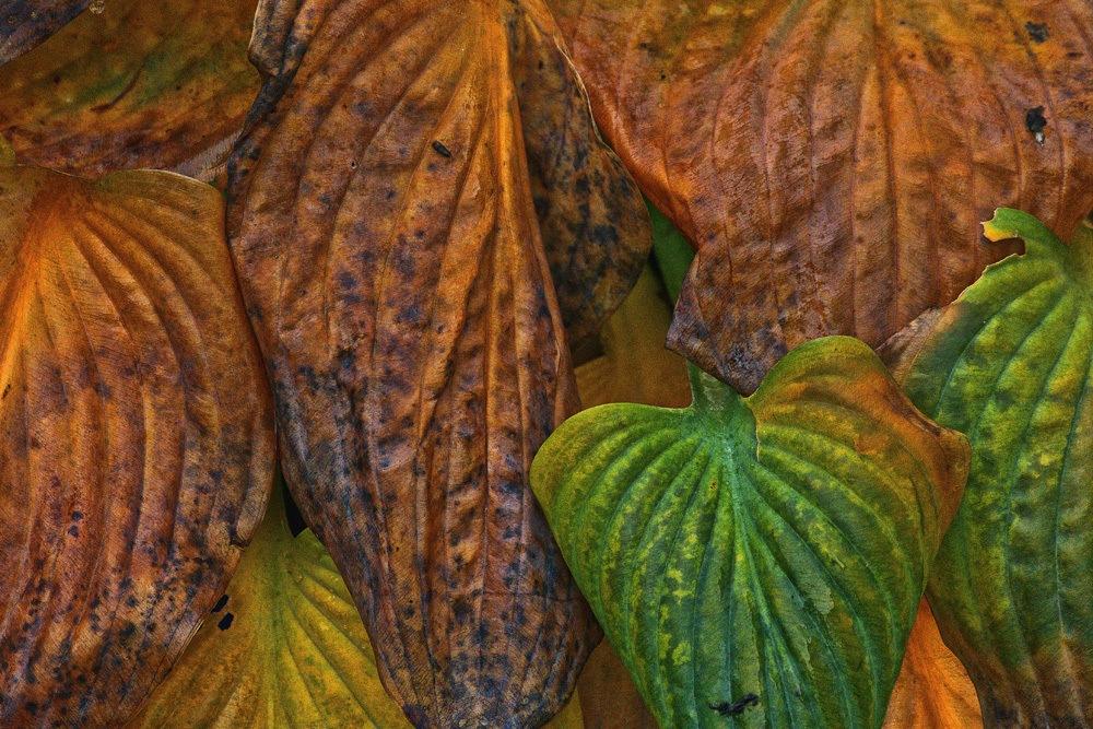 Vertrocknete Funkien Blätter