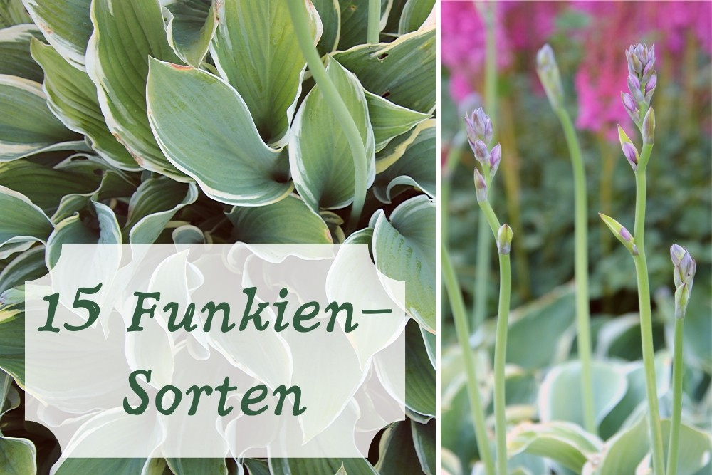 Funkien-Sorten
