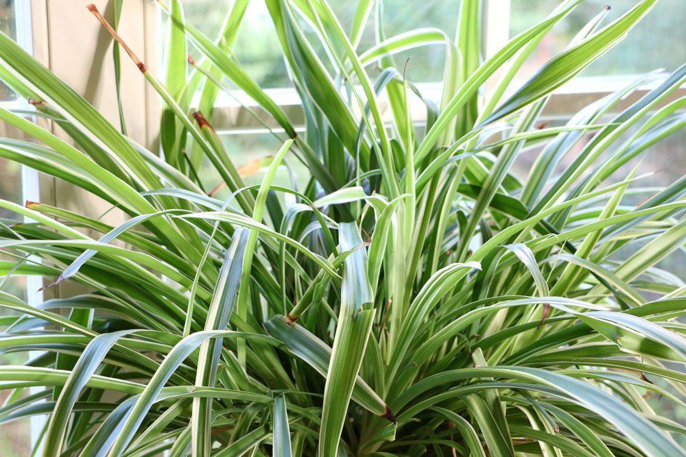 Grünlilie, robuste Zimmerpflanze