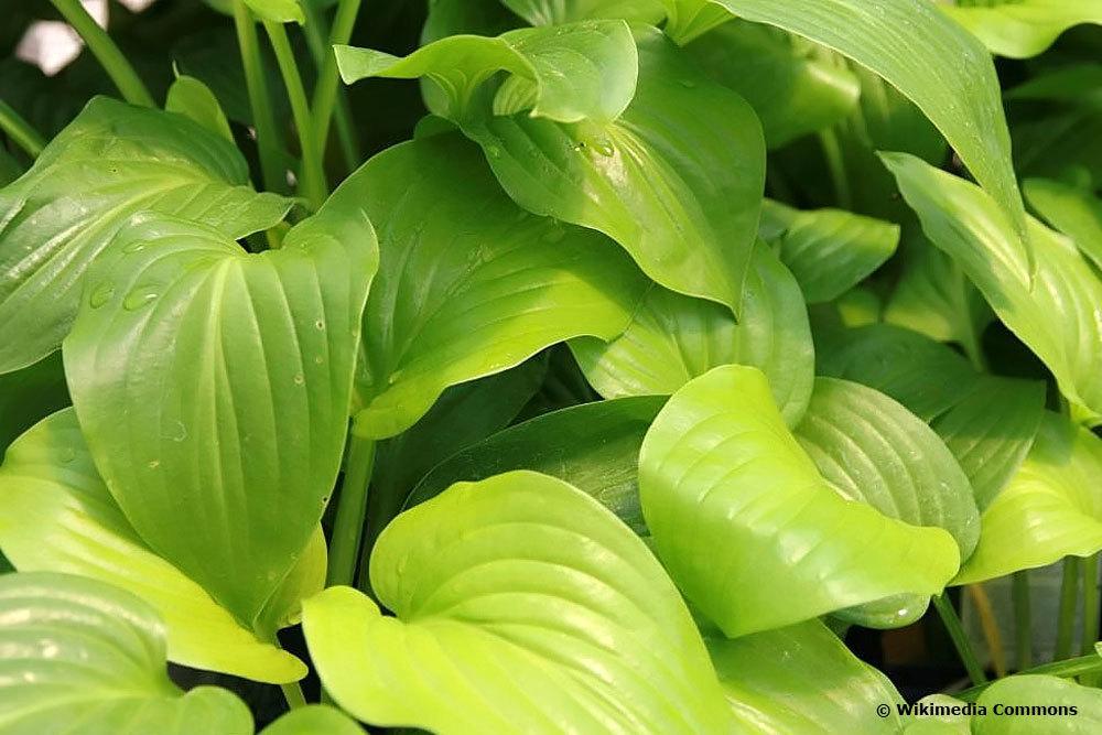 Hosta plantaginea 'Aphrodite', Funkien-Sorte