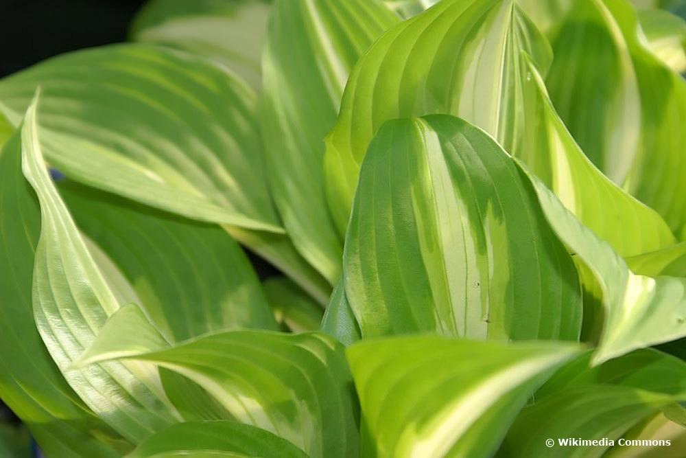 Hosta undulata, Funkien-Sorten