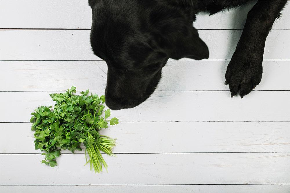 Hund Petersilie giftig
