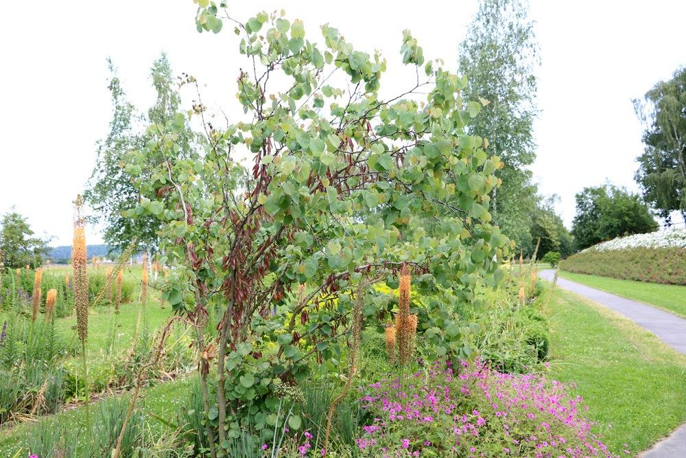 Judasbaum kleiner Baum