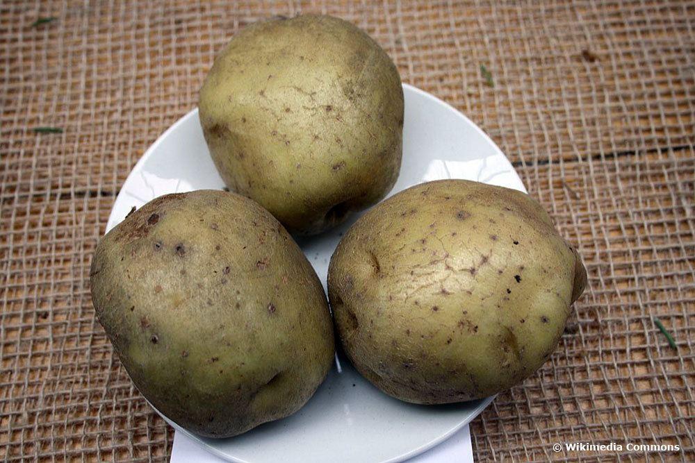 Kartoffelsorten Ackersegen