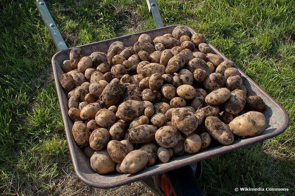 Kartoffelsorte, Linda