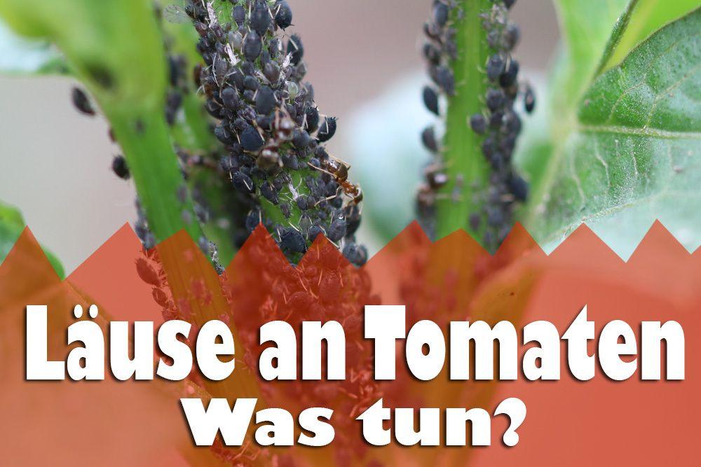 Läuse an Tomaten