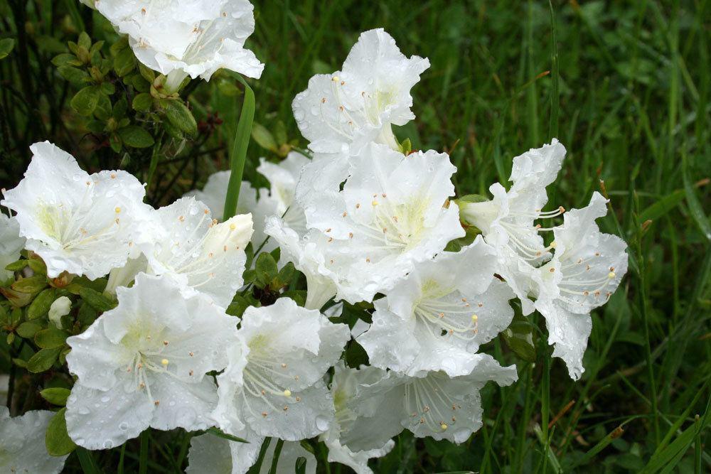 Fortunes Rhododendron weißblühender Strauch
